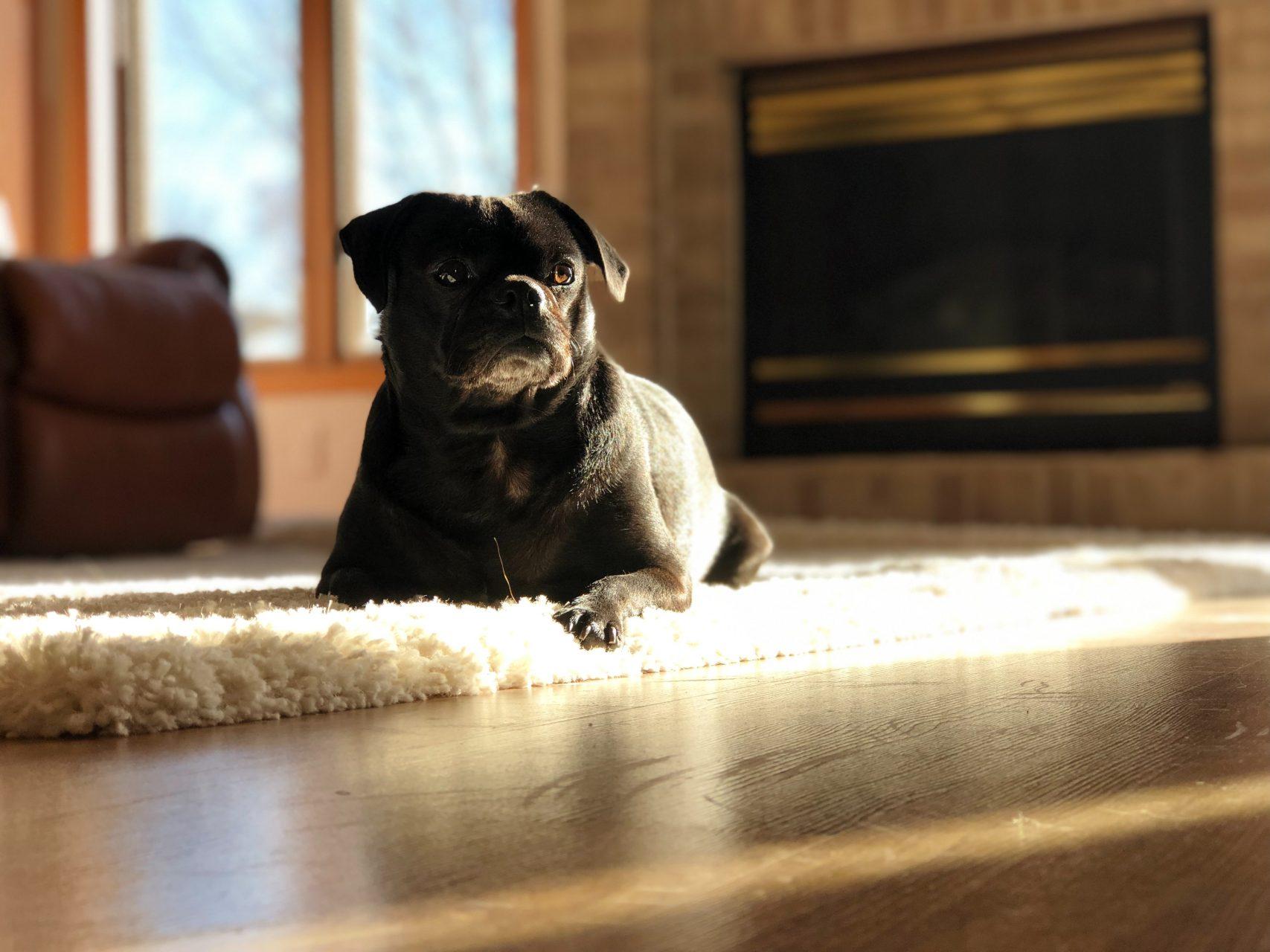 animal-black-dog-breed-2303476