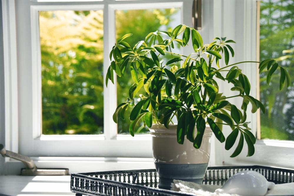 planta la fereastra