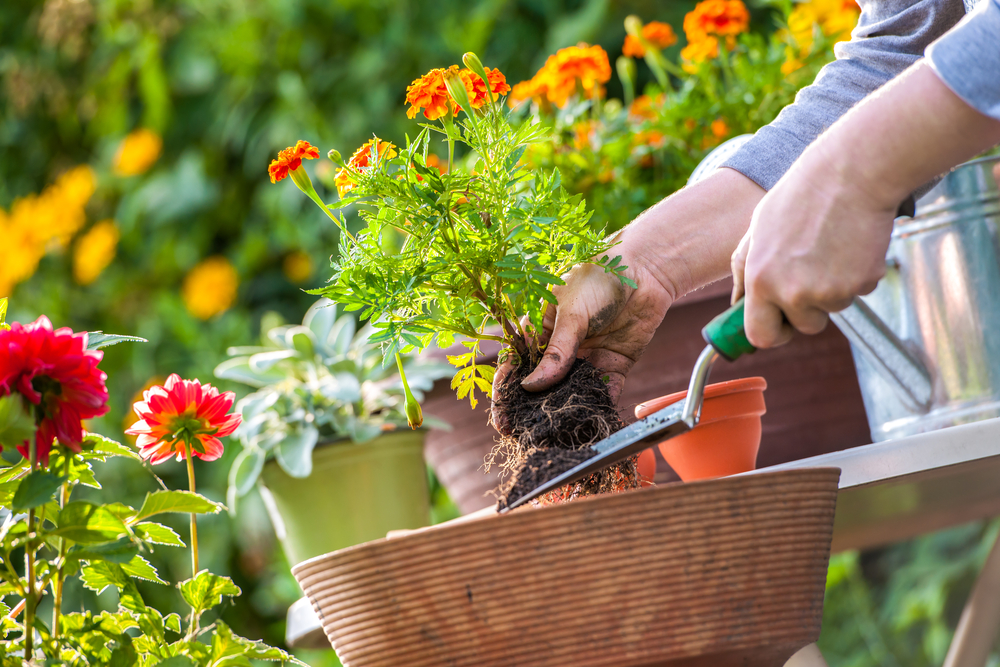 Gardeners,Hand,Planting,Flowers,In,Pot,With,Dirt,Or,Soil
